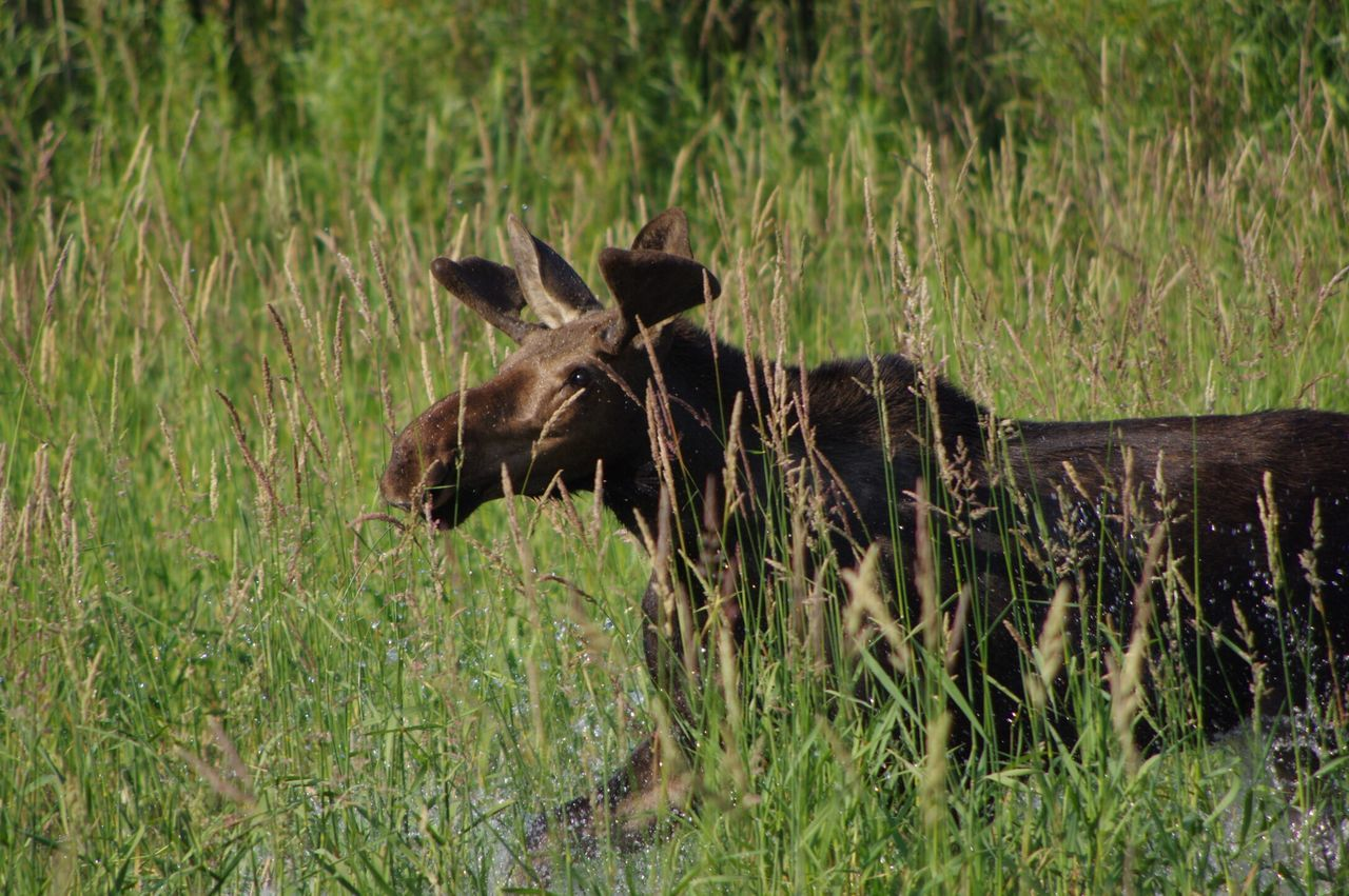 grass, nature, animals in the wild, outdoors, animal wildlife, mammal, no people, animal themes, one animal, grazing, day, moose