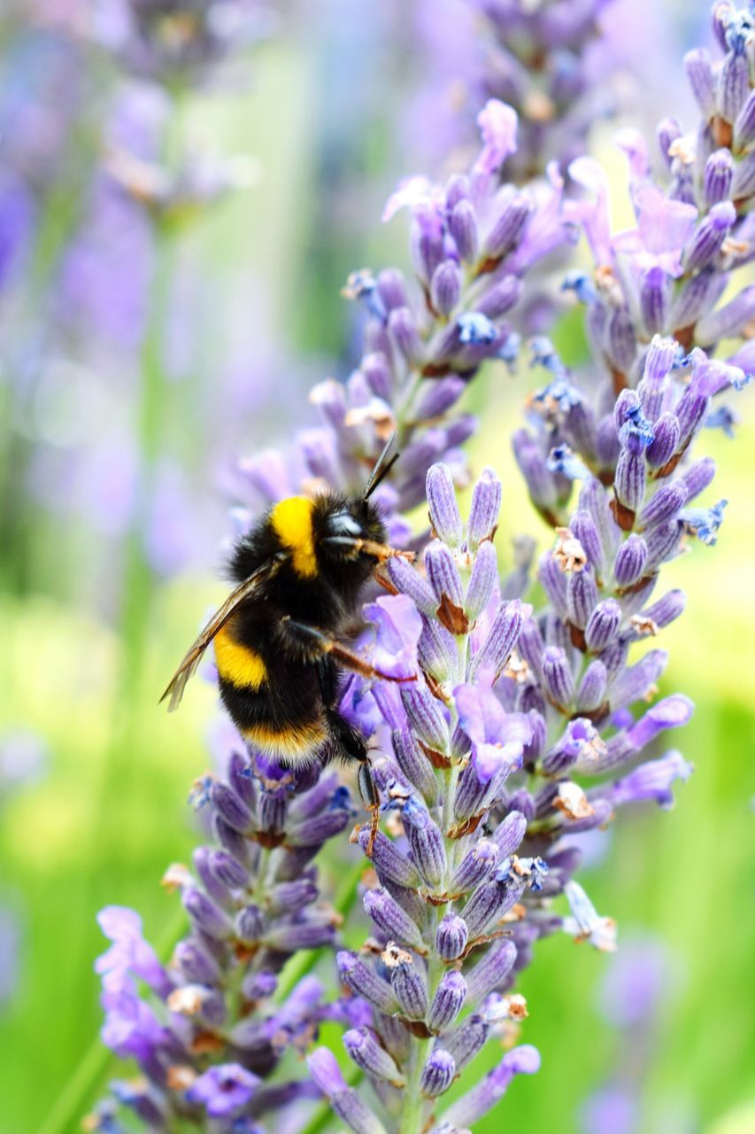 flower, insect, fragility, bee, one animal, nature, animal themes, selective focus, growth, purple, freshness, animals in the wild, pollination, beauty in nature, day, petal, no people, outdoors, focus on foreground, close-up, plant, bumblebee, flower head, buzzing
