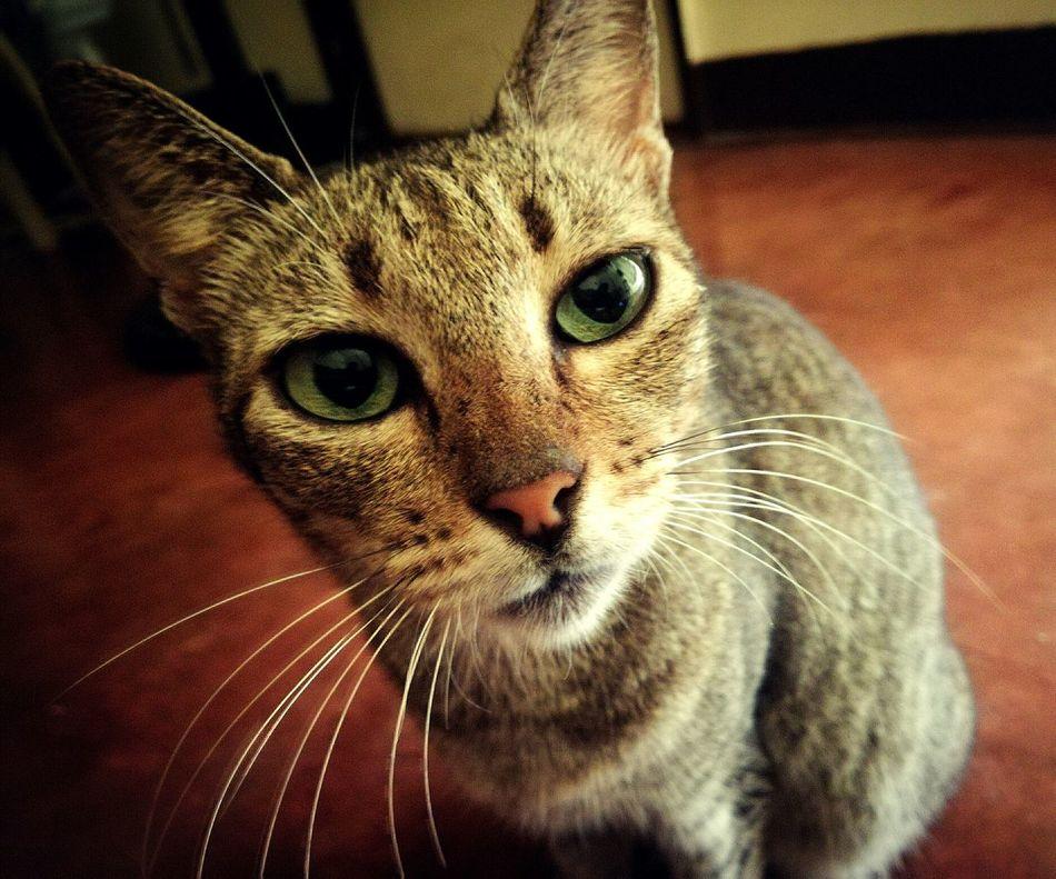 Kitty Domestic Cat Cat P9LitePhilippines
