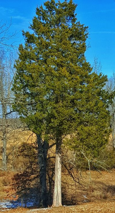 This is my favorite tree we have on are property. TreePorn Tree_collection  Landscape_photography Remnants Of Winter Front Or Back Yard Countryside Snow ❄ My World ❤ Samsung Galaxy S6 Edge Cellphone Photography Green Green Green!  Outdoor Photography
