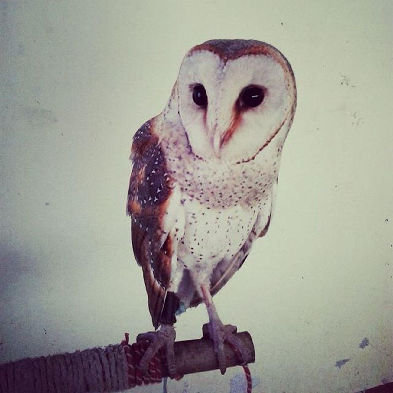 Semoga bahagia sama majikan baru @riskiprayogi Goodbye Delusi Tytoalba Barnowl Serakjawa Birdofprey Birdsofprey Owlsofinstagram Instadaily Like4like Taptap
