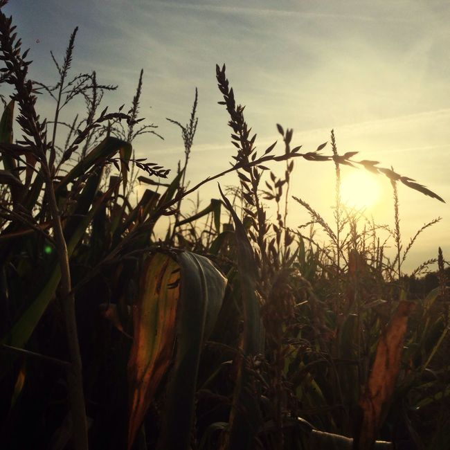 September Impression 2 Sunset Growth Field Plant Tranquility Close-up Grass Sun Tranquil Scene Beauty In Nature Nature Sunlight Scenics Sky Non-urban Scene Back Lit Focus On Foreground Stalk Crop  Sunbeam