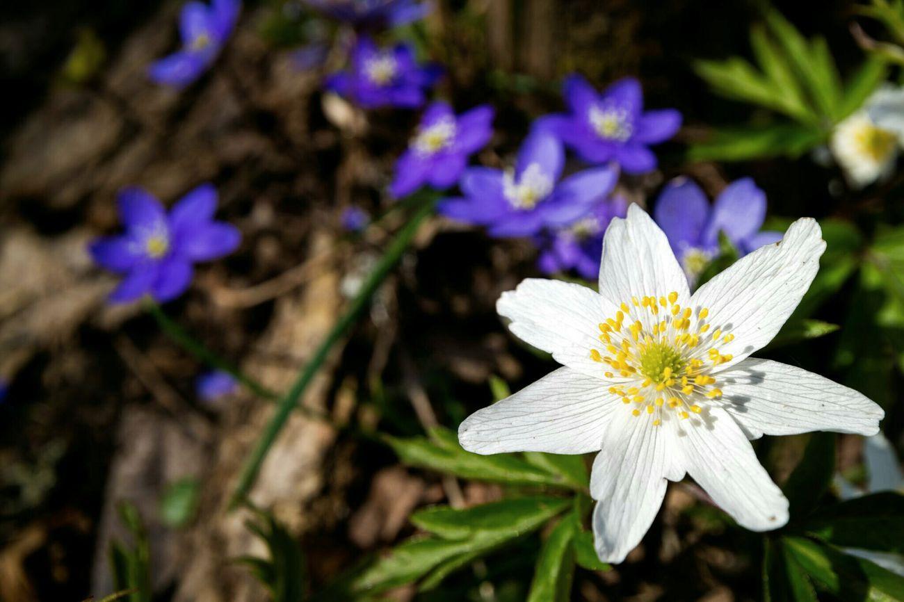 Anemone Nemorosa Anemone Hepatica Spring Wood Anemone Nature Photography Macro Photography