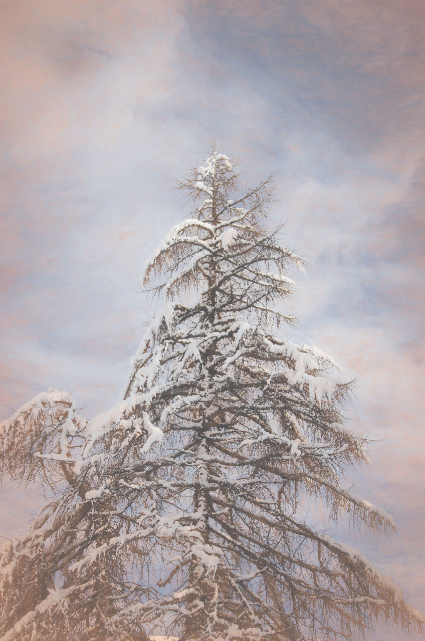 tree, winter, snow, cold temperature, pine tree, no people, fir tree, day, nature, spruce tree, outdoors, low angle view, sky, bare tree, close-up