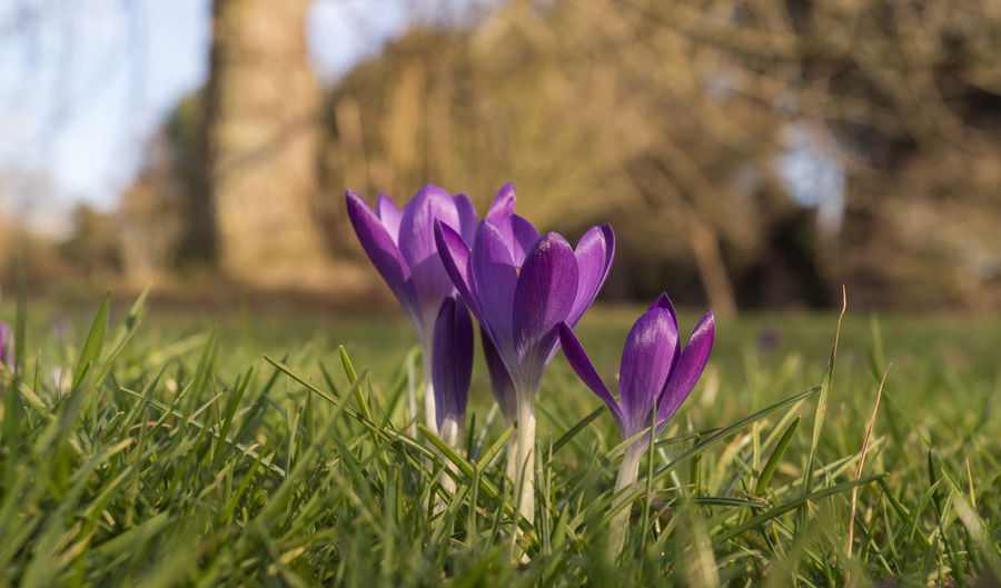 Crocus Flower Crocus Vernus Beauty In Nature Blooming Close-up Crocus Crocuses Spring Day Flower Flower Head Focus On Foreground Fragility Freshness Grass Green Color Growth Nature No People Outdoors Petal Plant Purple
