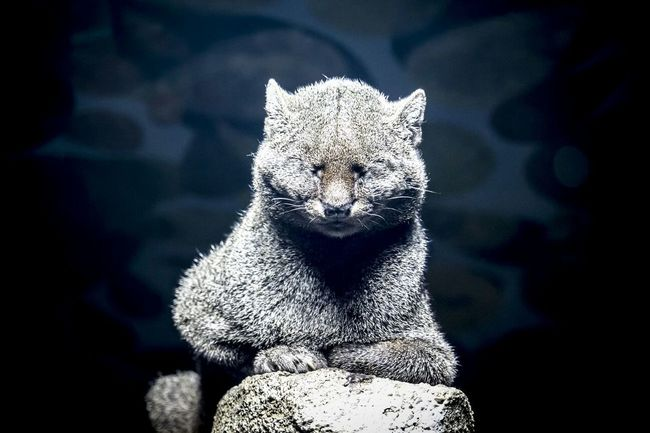 Jaguarundi Zoo Majestic Cat Nofilter Portrait Animals Animal Themes