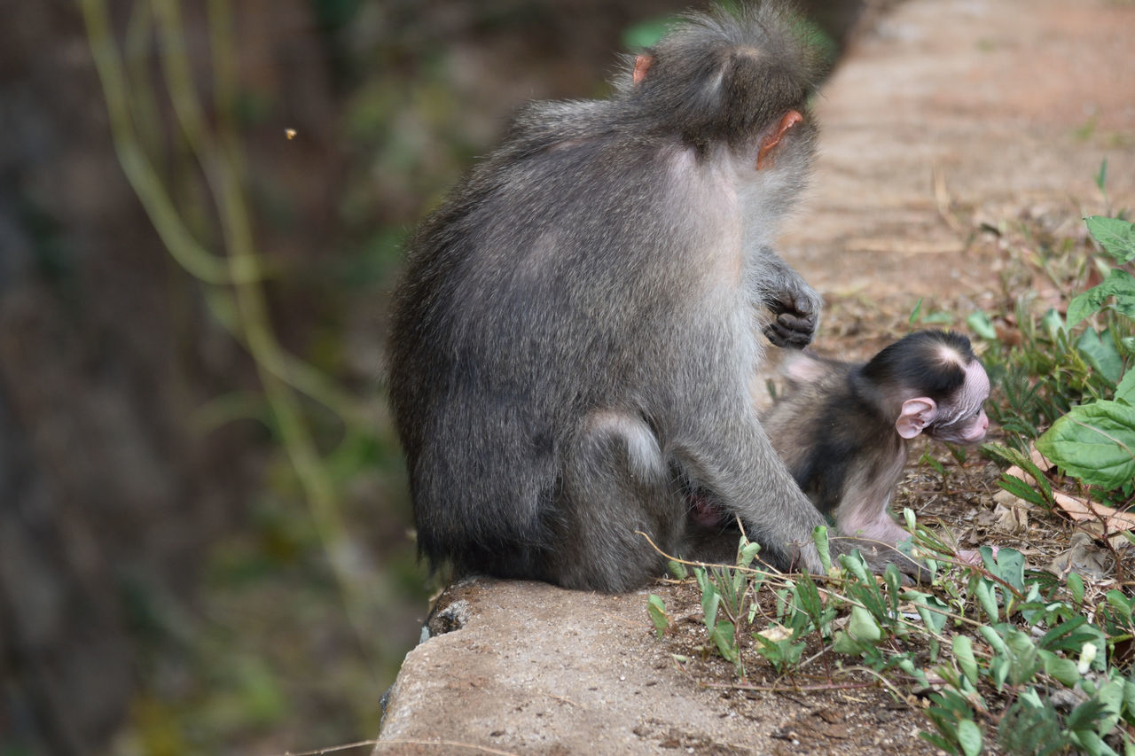 Keeping an eye out Animal Wildlife Day Looking After The Young Monkey Nature No People Outdoors Primate
