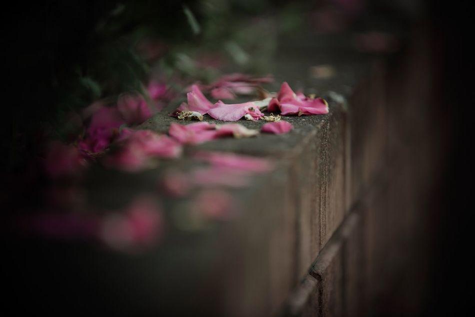 Selective Focus Flower Pink Color No People Fragility Outdoors Petals Plant Beauty In Nature Fallen Petals Flowers Flora Fragile Camellia Outdoor Bokeh Bokeh Photography Dof Depth Of Field Canonphotography EyeEm Best Shots EyeEm Gallery EyeEm Nature Lover EyeEmBestPics EyeEm Best Edits