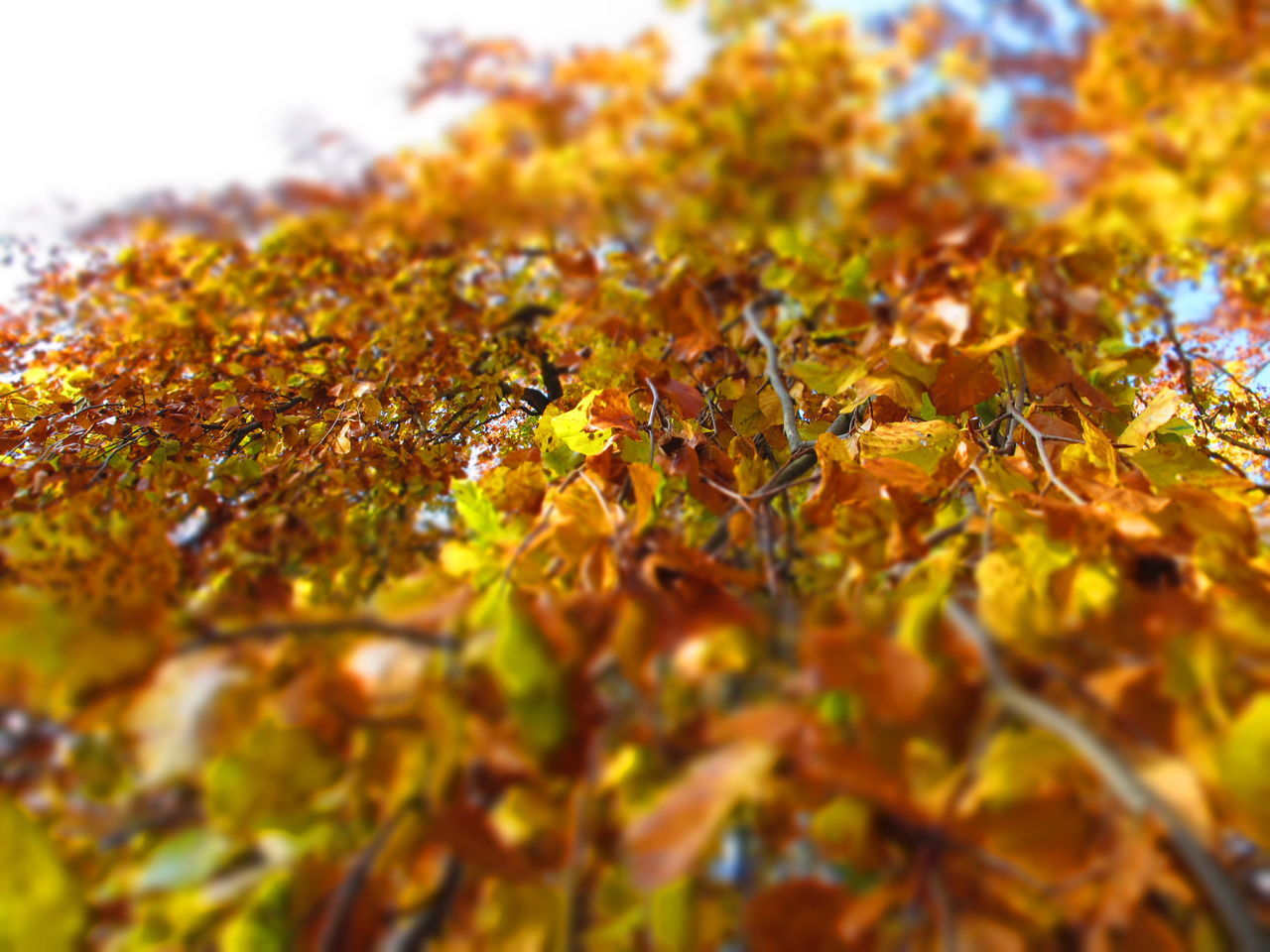 leaf, autumn, change, leaves, nature, maple leaf, beauty in nature, maple, maple tree, dry, tree, selective focus, outdoors, scenics, tranquility, no people, day, close-up, yellow, branch, sky