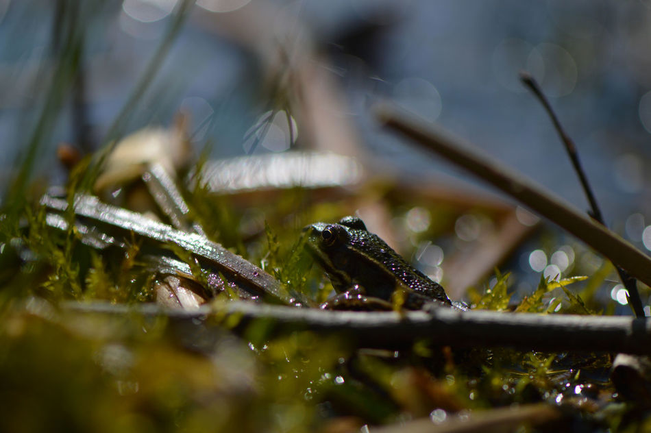 Do not disturb... Amphibian Animal Themes Animals Animals In The Wild Atmosphere Bokeh Close-up Day Frog Froggy Frogs Lake Lakeside Macro Microcosm Moss Nature No People One Animal Outdoors Pond Pond Life Reed Selective Focus Tranquility