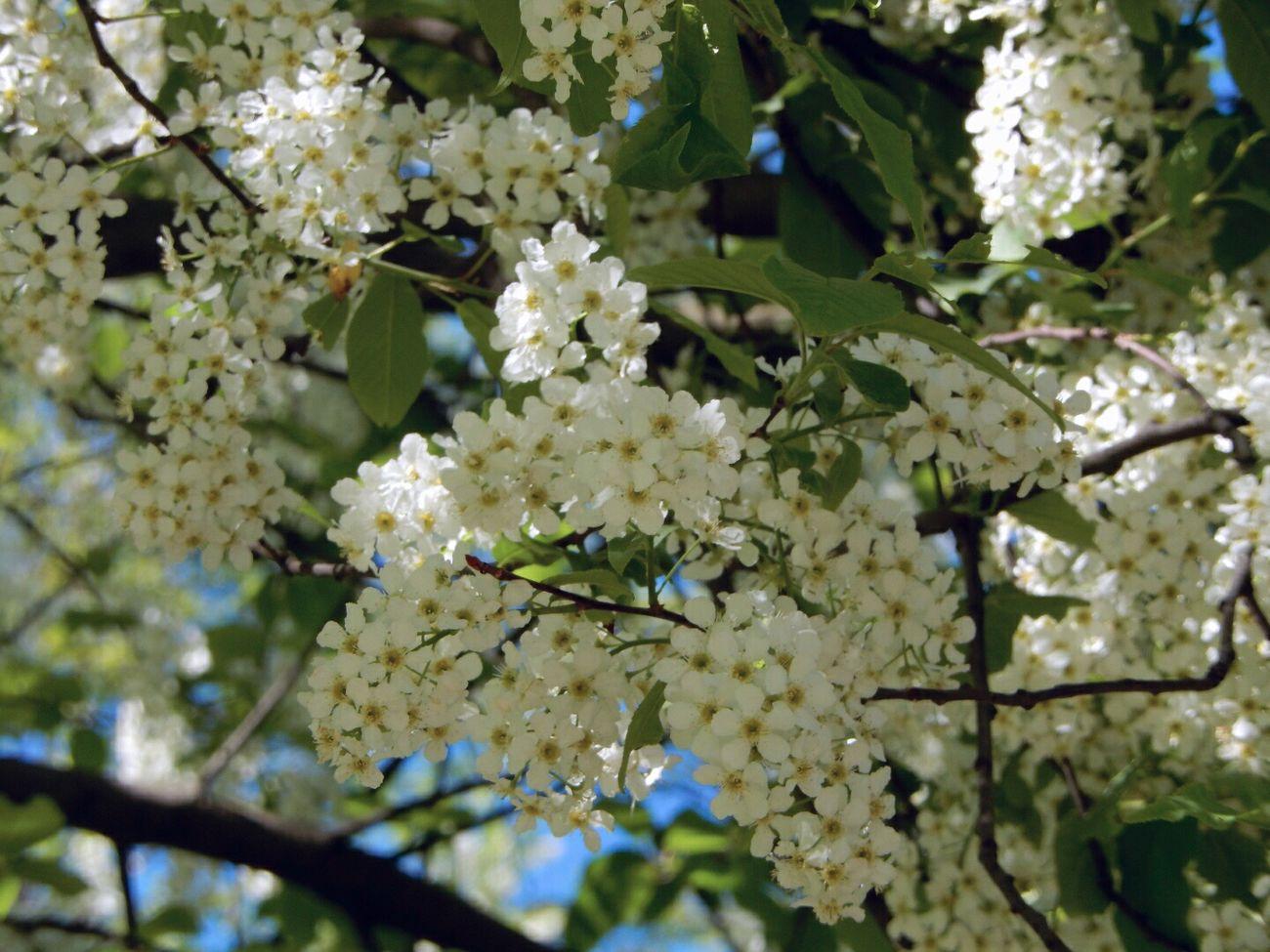 черёмуха душистая с весною расцвела:-) цветы весна солнечный день / The Bird Cherry Tree is in Blossom. Flowers Sunny Day Spring