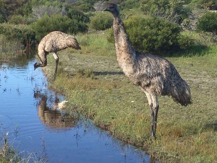 Emus Beauty In Nature Birds Bird Photography Beautiful Nature Water Australia Native Bird Long Legs Reflections