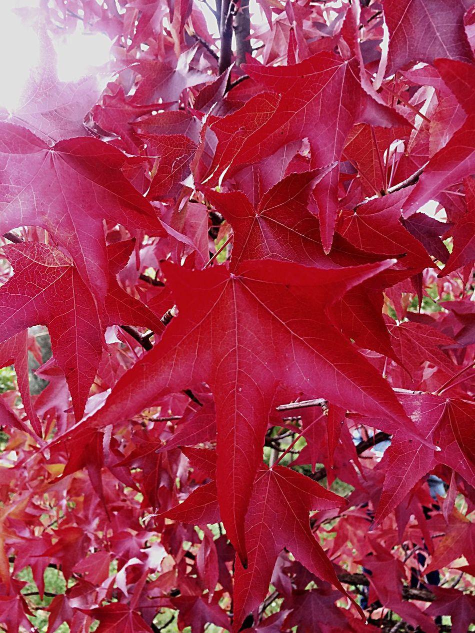 Acero rosso del Canada