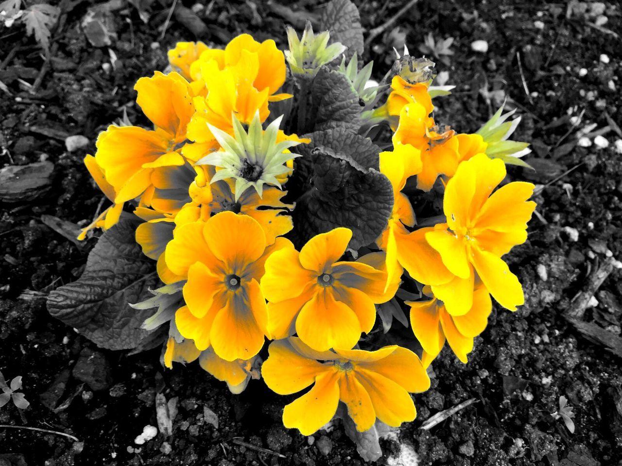 Yellow Flowers Flowerporn Photostudio Macphun Nature Spring Seattle