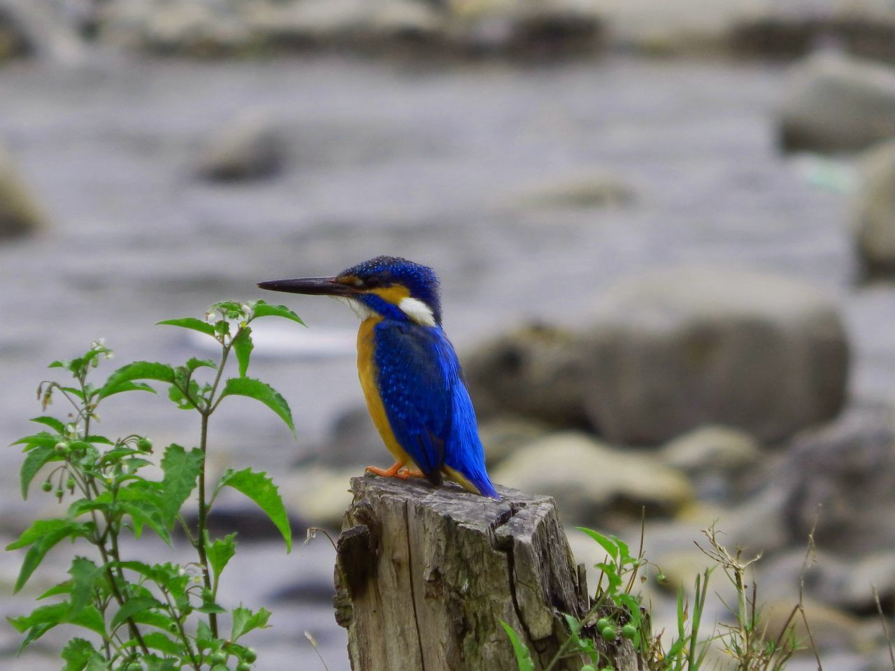 one animal, animal themes, animals in the wild, bird, animal wildlife, focus on foreground, kingfisher, perching, day, blue, no people, nature, beauty in nature, outdoors, close-up