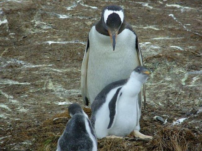 Gentoo Penguin Chick And Adult Peeking