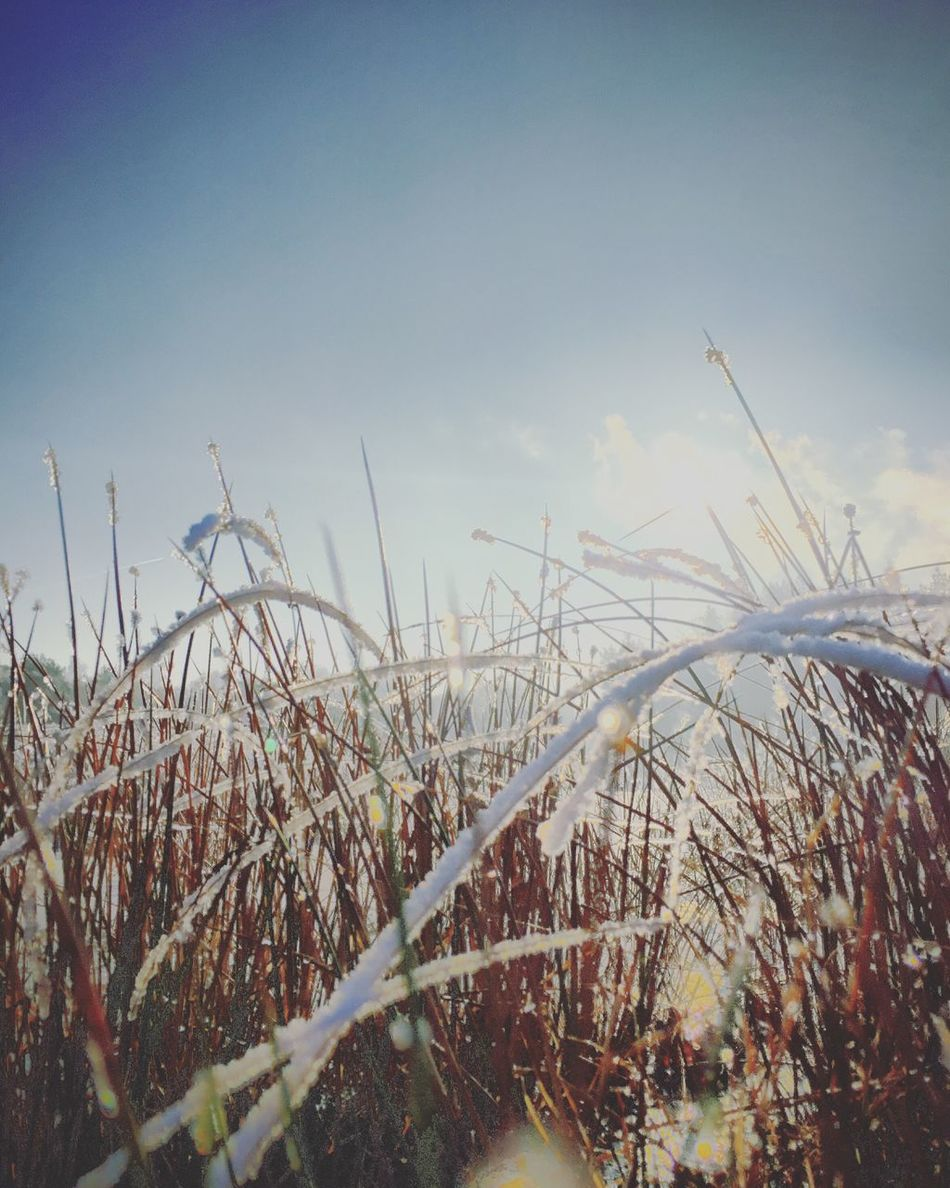 Frosty morning Nature Growth Plant Tranquility No People Outdoors Sky Tall Grass Beauty In Nature Grass Day Close-up
