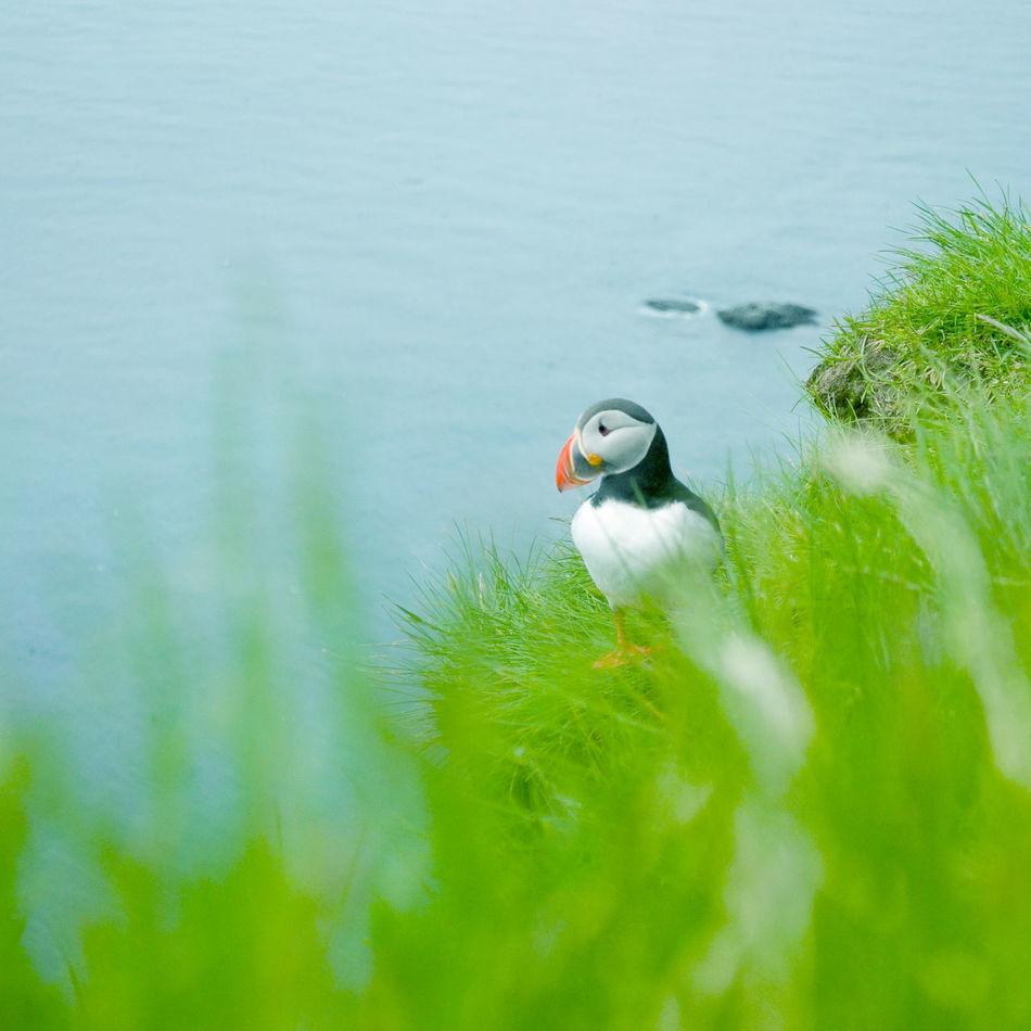 Adventure Animals Birds Blue Green Iceland Latrabjarg Nature Outside Puffin Roadtrip Sea Travel Wildlife