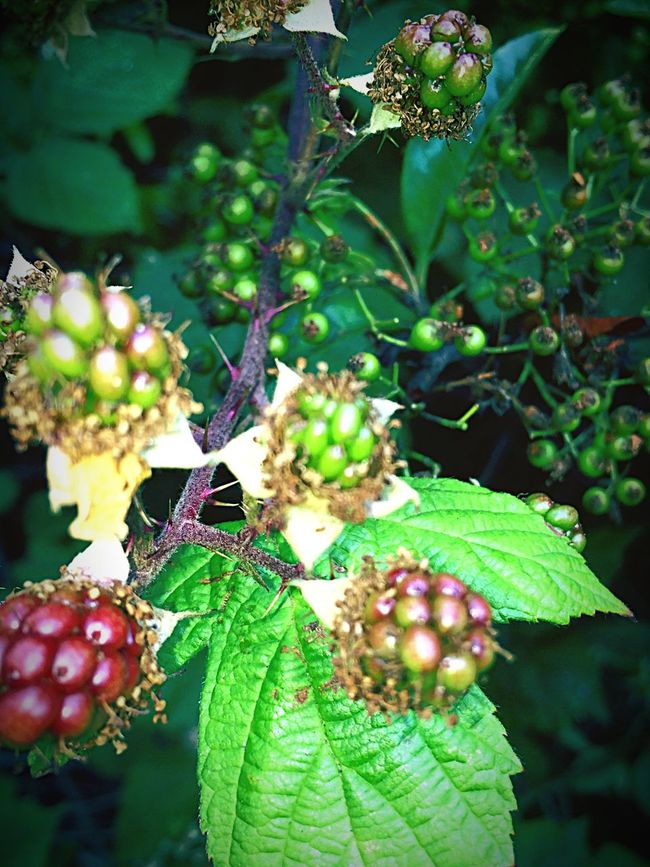 Hi! Check This Out Taking Photos Blackberries Just Changing Colofr