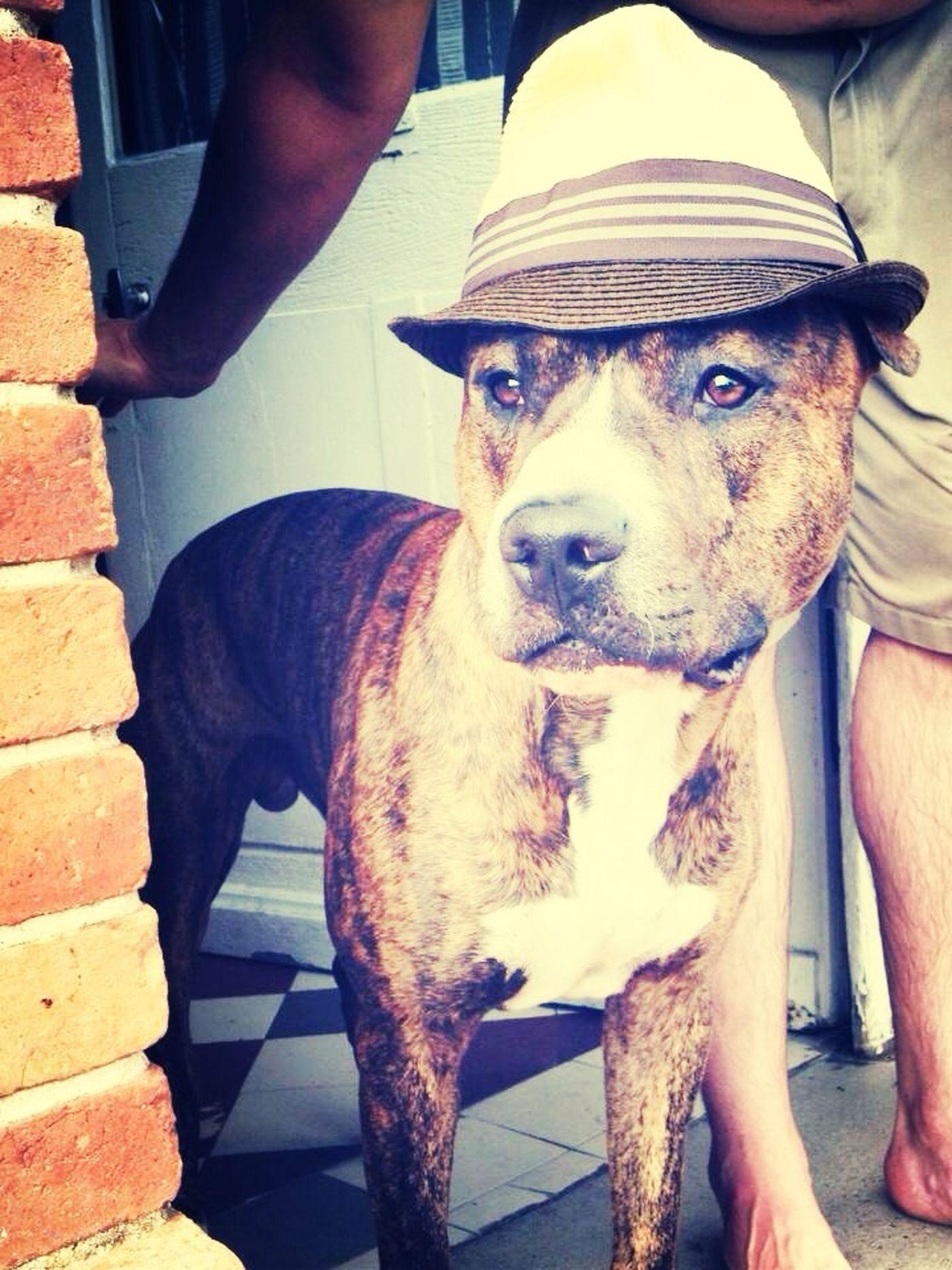 Pittbulls My Dog Thug Dog Dixon