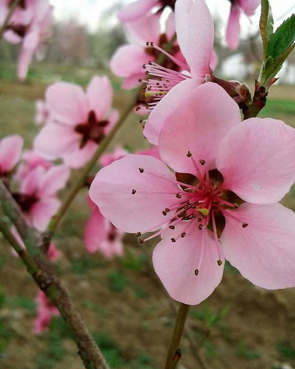 Badem çiçeği :) Pink Color Nature Growth Flower Close-up Plant Flower Head Blossom Beauty In Nature No People Almond Tree Petal Outdoors Fragility Beauty Springtime Tree Branch Day Freshness Kütahya First Eyem Photo Kütahyalı