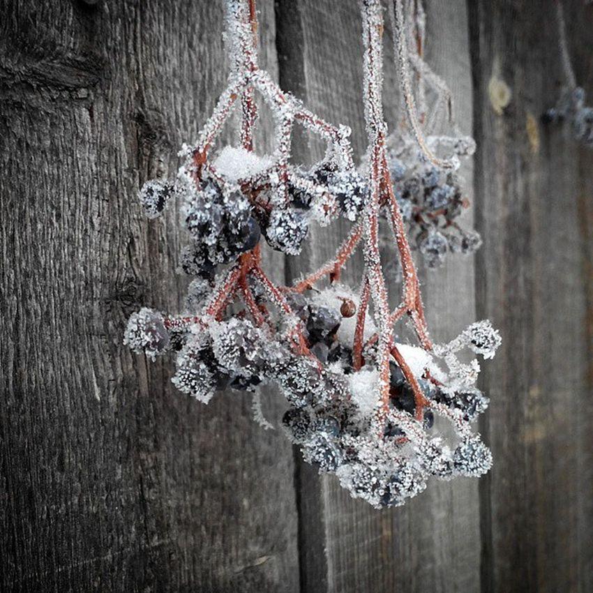 омск сибирь иней Виноград мороз Морозисолнце зима Omsk Siberia Hoarfrost Frost Frostandsun Wintergrape Grape Nofilter Instaomsk15