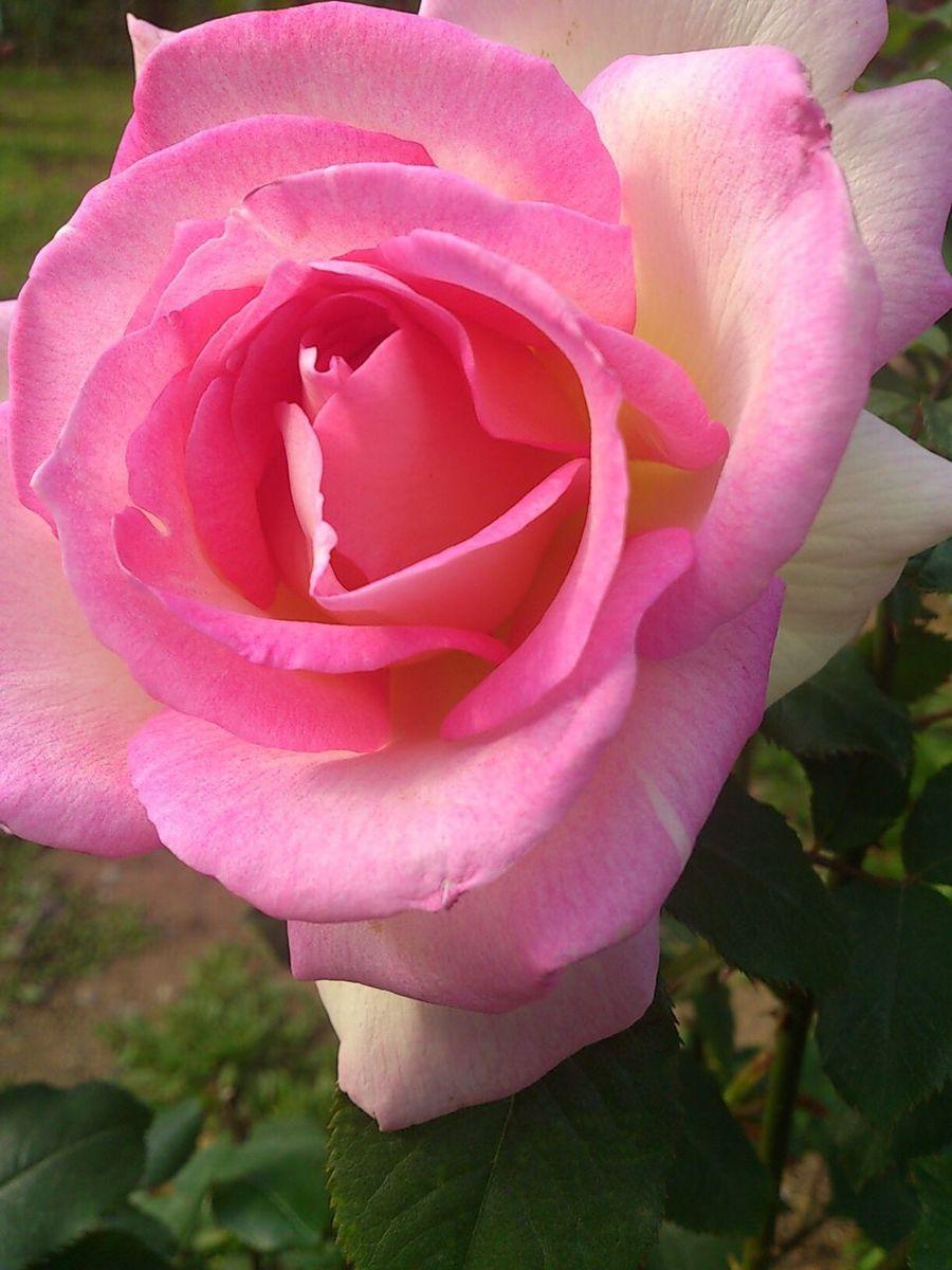 ピンクの薔薇 ピンク 薔薇 バラ 花 自然 Pink Pink Flower Pink Rose Pink Color Pink Flowers Nature Nature Photography Nature_collection Rose🌹 Roses🌹 Rose♥ Rose - Flower Roses Roses Flowers  Natural Flowers Flower Flower Collection