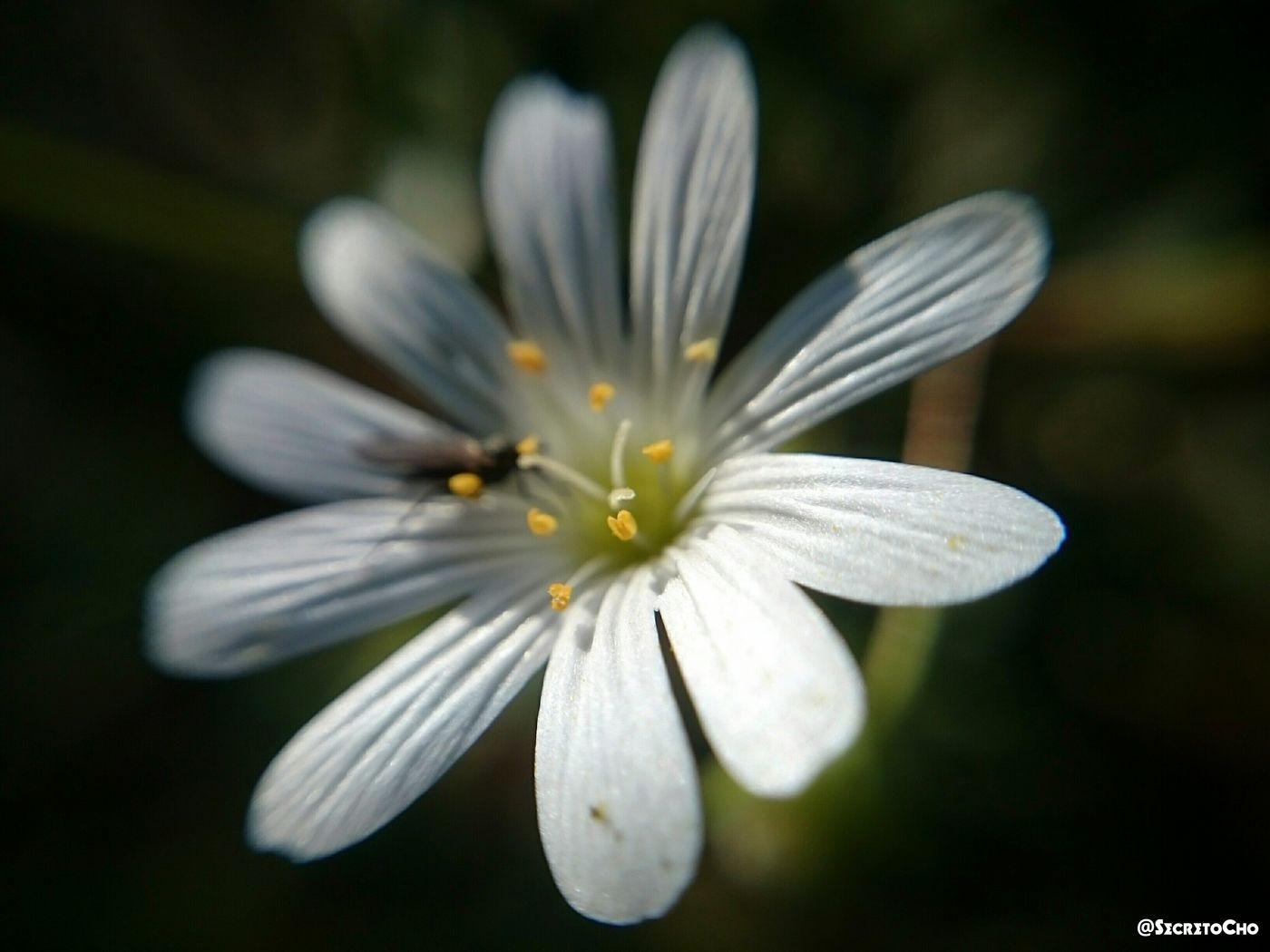 Flower Flowers,Plants & Garden Macro Macro_collection Sakarya Ferizli White