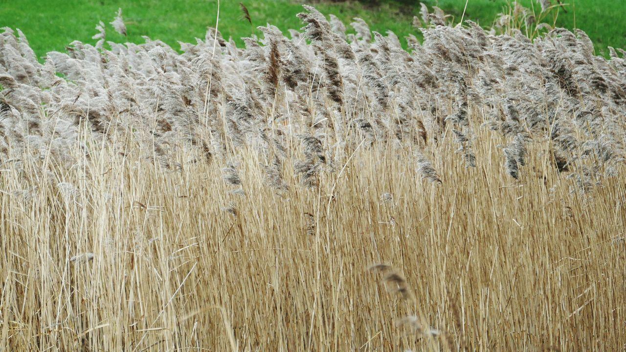 ' Reeds ' Hampstead Heath Grasses Nature Tall Grasses Grass -- B