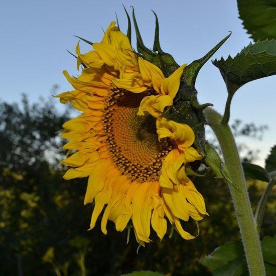 татарстан вечер друг солнца sunflowerбезфильтров