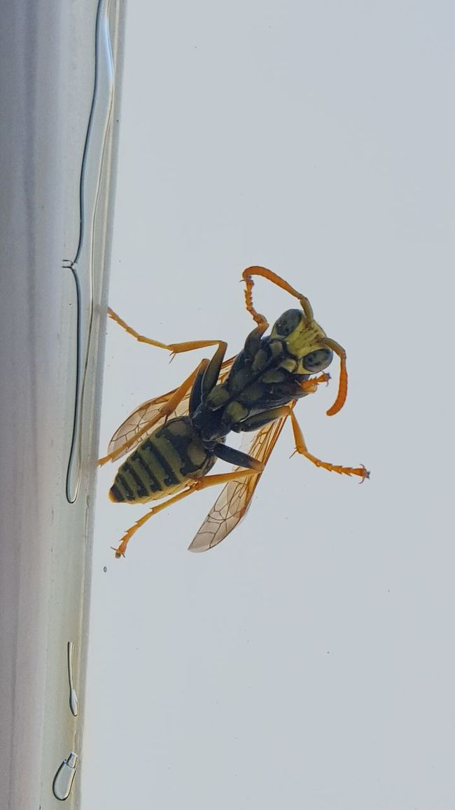 Taking Photos Check This Out Taking Photos Wasp Wasp Macro Wasps Avispa Insect Insect Photography Insects Collection Insects