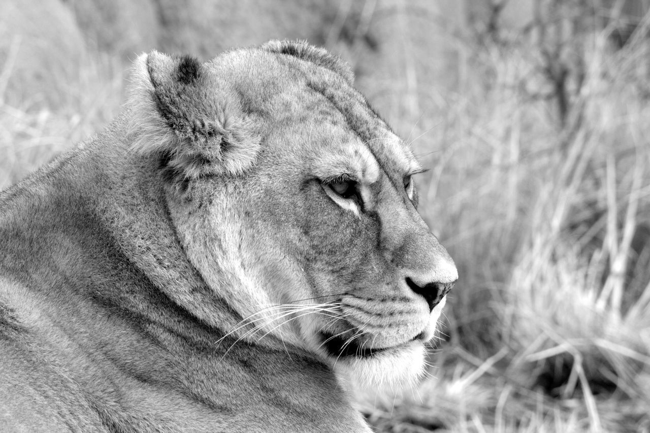 Close-Up Of Lion Sitting On Field