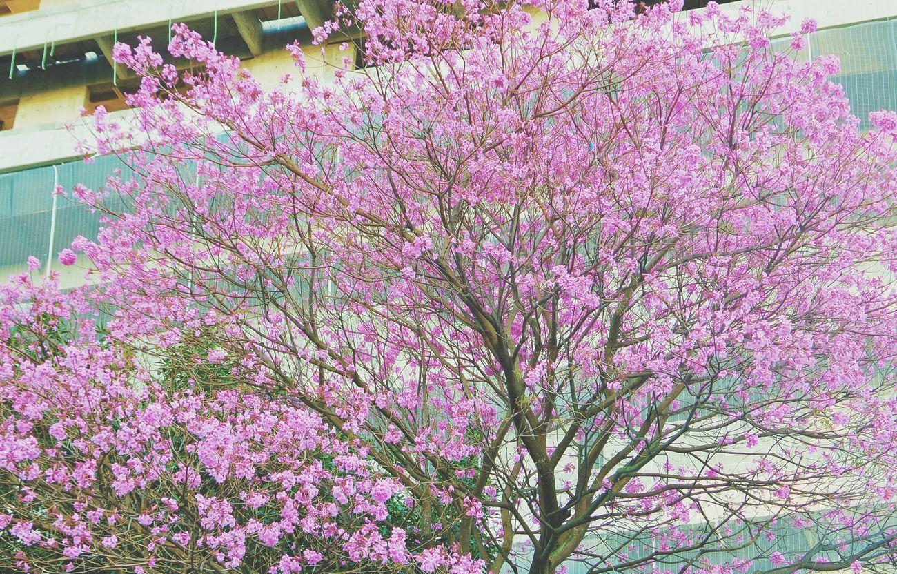 Pink Tree Tree Nature