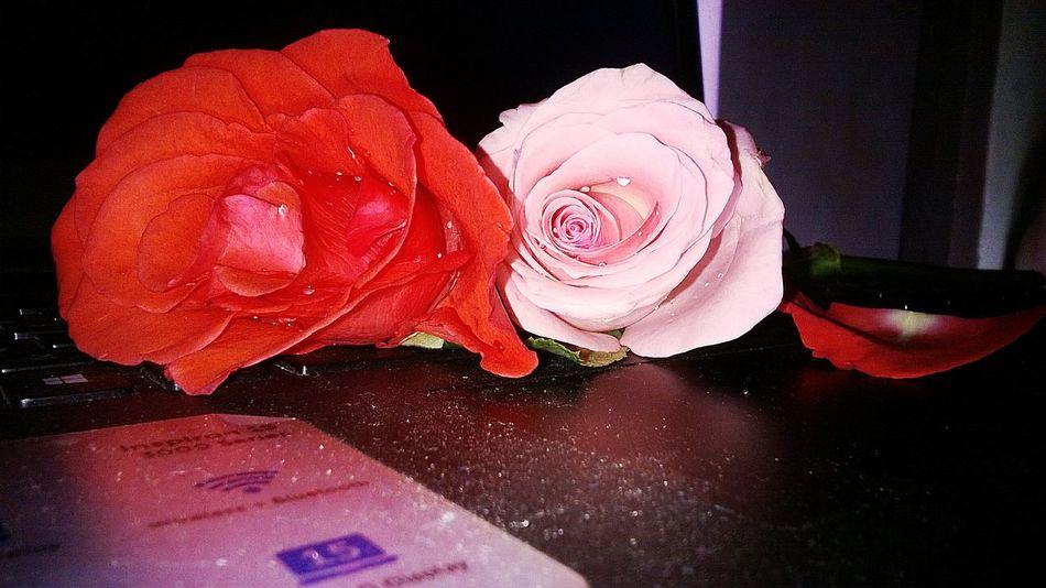 Flower Close-up Freshness Pink N Red Rose Droplets On Flower