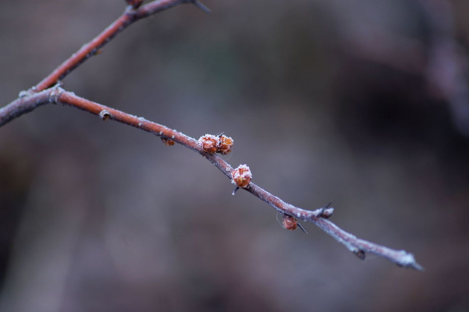 Beauty In Nature Branch Bud Buds Buds In Winter Chaenomeles Japonica Close-up Cold Temperature Early Spring Flower Bud Flower Buds Japanese Quince Japanese Quince Branch Japanese Quince Buds Nature Nature Photography No People Outdoors Spring Winter