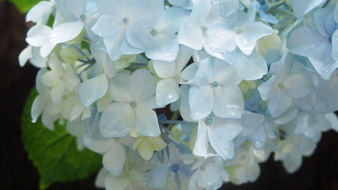 Beautiful ♥ Beautiful Nature EyeEm Nature Lover EyeEm Best Shots Macro_flower あじさい しずく Flowerlovers Flower Photography