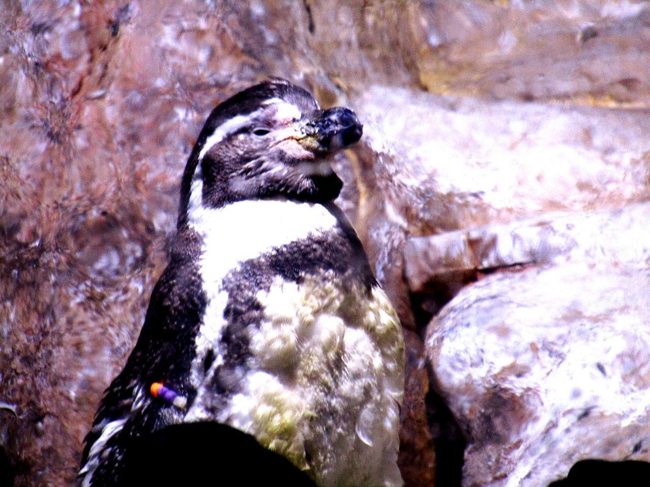 Pinguine Animalphotography Animallovers Eyeemphotography Eyeemcollection EyeEmAnimalLover Barcelona Tropicarium Aquarium Closeupshot Todayphotography