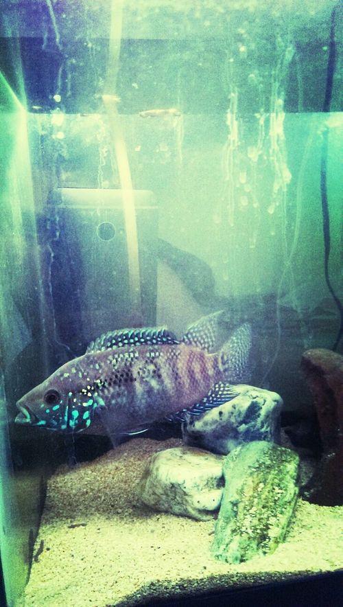 My Jack Dempsey cichlid.
