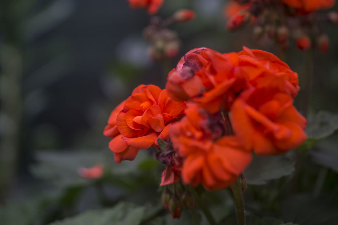 Blumen Fiori Orange Red Beauty In Nature Blooming Blumenfotografie Blumenpracht🌺🍃 Blurred Background Close-up Day Flower Flower Head Flowers Focus On Foreground Fragility Freshness Growth Nature No People Outdoors Petal Plant Red Unscharfer Hintergrund