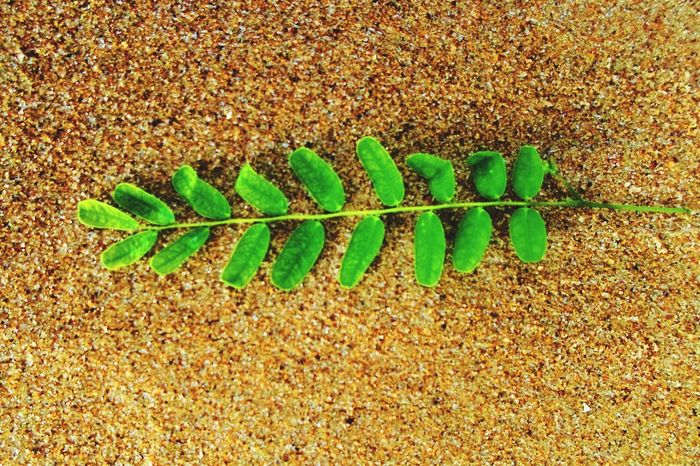 Simple Click made my day so happy. Leaf Sand 16mp Beach Beautiful Beauty In Nature EyeEm Getty Collection Getty Images Green Leaves Green Color Green Shades Vibrant Colors Simplicity Showcase April The Great Outdoors - 2016 EyeEm Awards Sea Wealth Sea Life Colour Of Life EyeEmNewHere EyeEm Selects