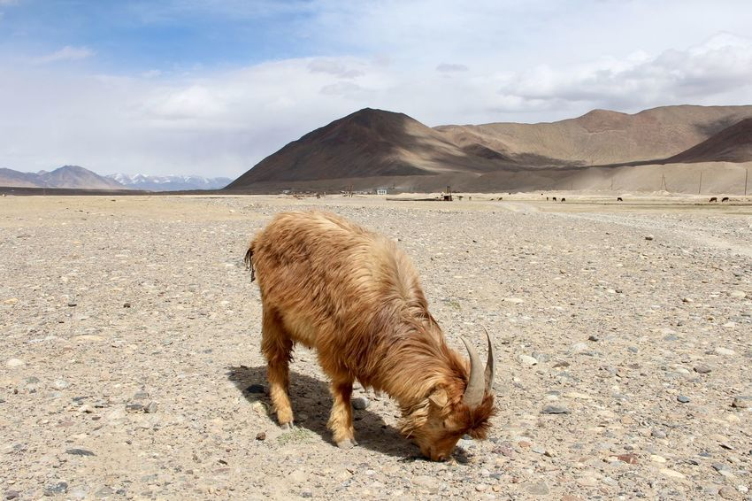 While treking in Pamir Maoutains, Tajikistan Animal Beauty In Nature Cloud - Sky Day Desert Goat Landscape Mountain Mountains And Sky Murghab Nature No People Outdoors Pamir Highway Pamir Mountains Sky Tajikistan Travel