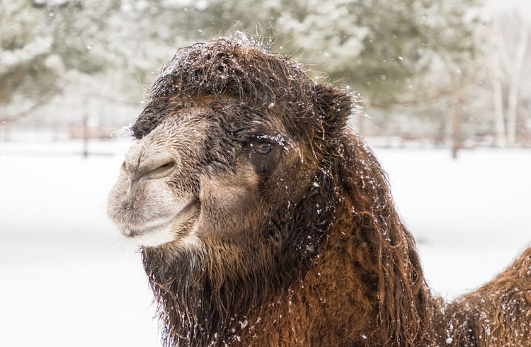 Portrait of a camel in the zoo during a snowfall on the background of the snow drifts Animal Themes Beauty In Nature Brown Camel Close-up Cold Cold Temperature Day Eye Fur HEAD Lips Mammal Mammals Nature No People One Animal Outdoor Outdoors Portrait Snow Snowing Winter Zoo