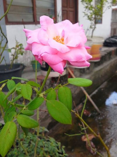 I love pink rose so much! Relaxing Taking Photos Flower Nature