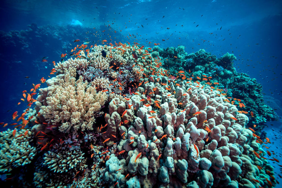 red sea Adventure Animals In The Wild Aquatic Sport Beatiful Nature Clown Fish Coral Escape Explorer Extreme Adventures Fish Light And Shadow Nature No People Ocean RedSea Reef Scubadiving Sea Sea Anemone Sea Life Solo Traveller Travel Photography UnderSea Underwater Unusual Beauty