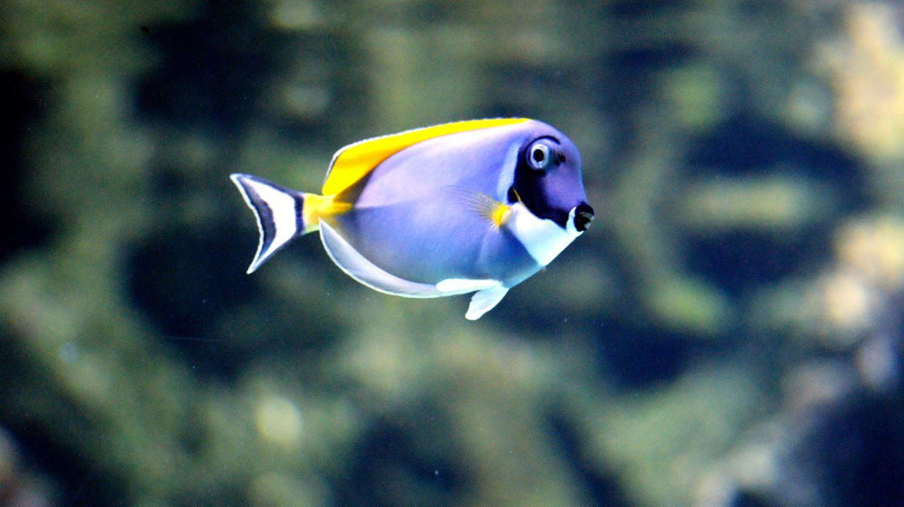 animal themes, one animal, underwater, animals in the wild, sea life, swimming, fish, animal wildlife, water, aquarium, undersea, nature, animals in captivity, wildlife, focus on foreground, no people, close-up, swimming animal, multi colored, indoors, day, beauty in nature