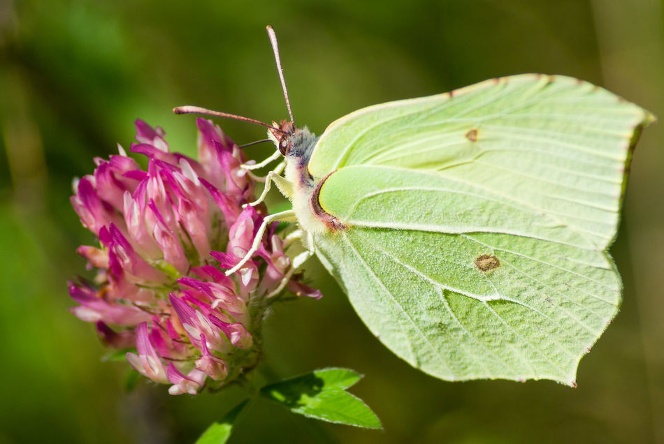 Animal Wildlife Beauty In Nature Brimstone Butterfly Butterfly Close-up Day Flower Fragility Freshness Green Color Insect Nature No People One Animal Outdoors Pink Color Wings Wings Of A Butterfly