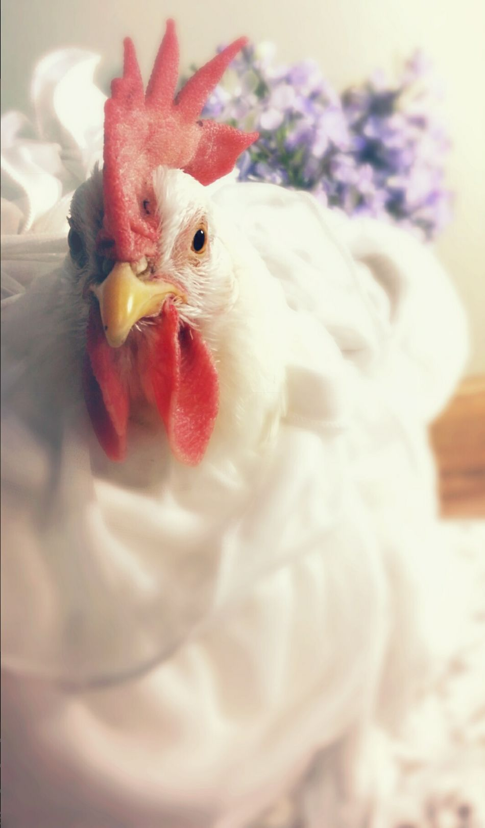 Chicken - Bird Domestic Animals Livestock Bird Rooster One Animal FUNNY ANIMALS Funny Pets Pet Love Petslife Pet Photography  Animallovers Pets Of Eyeem Birds Animal Photography Pet Photography  Petstagram Birds Of EyeEm  Birds🐦⛅ Birds_collection Indoors  Funny Chickens Chickens Of Eyeem Chickens >.<