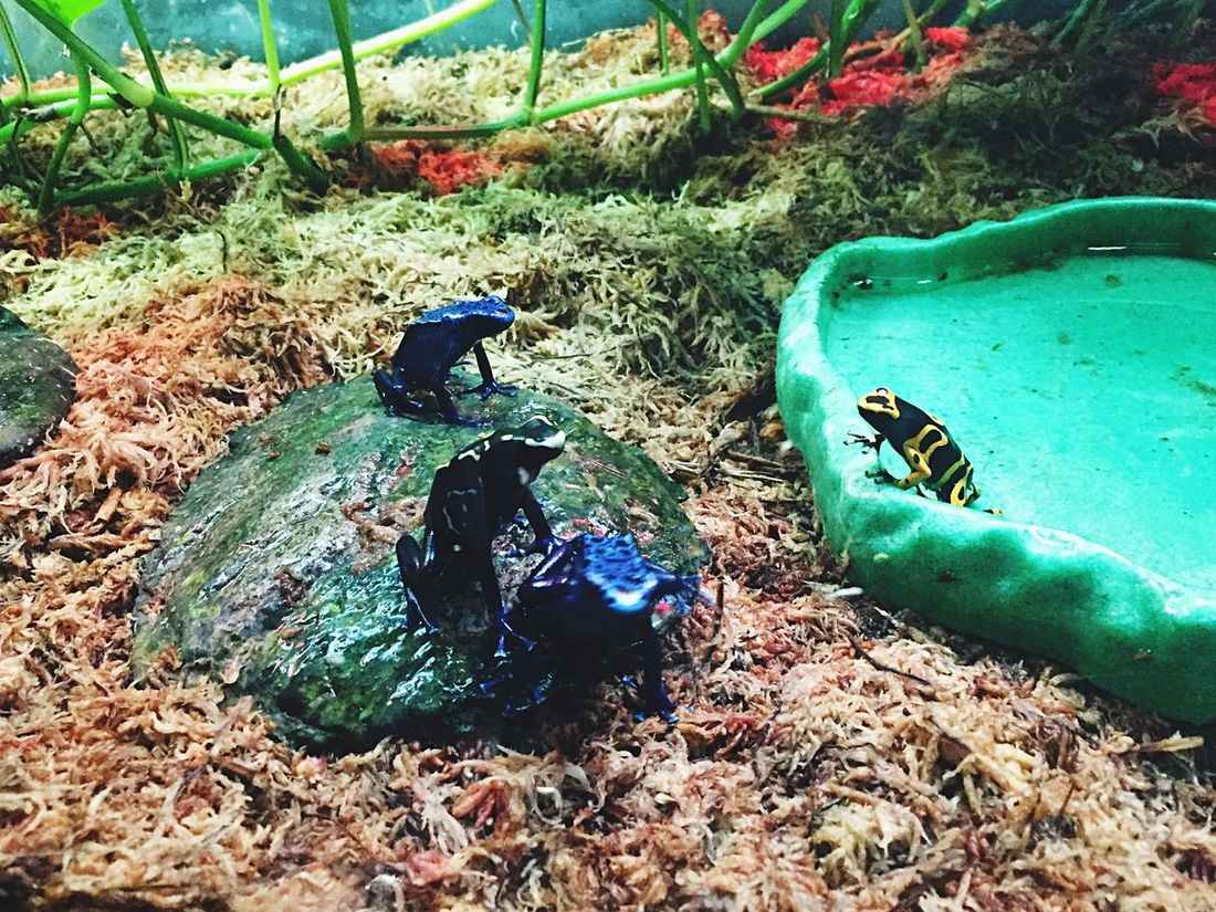 Frogs Deadly Poisonousdartfrog