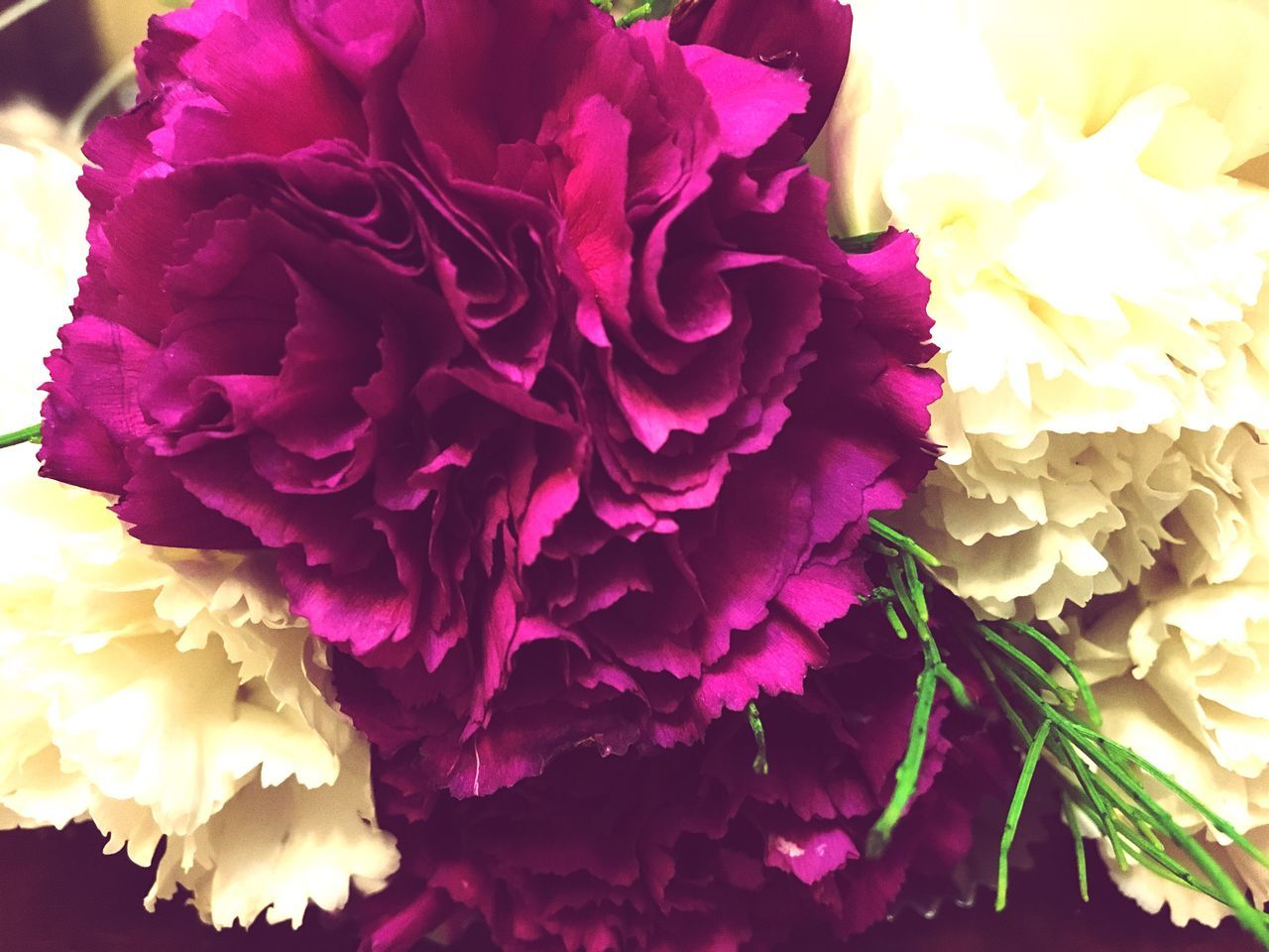 Flower Claveles Hermosas