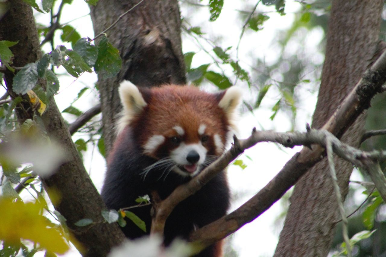 Animal Themes Animals In The Wild Day Low Angle View Mammal Nature No People One Animal Outdoors Panda - Animal Red Panda Tree